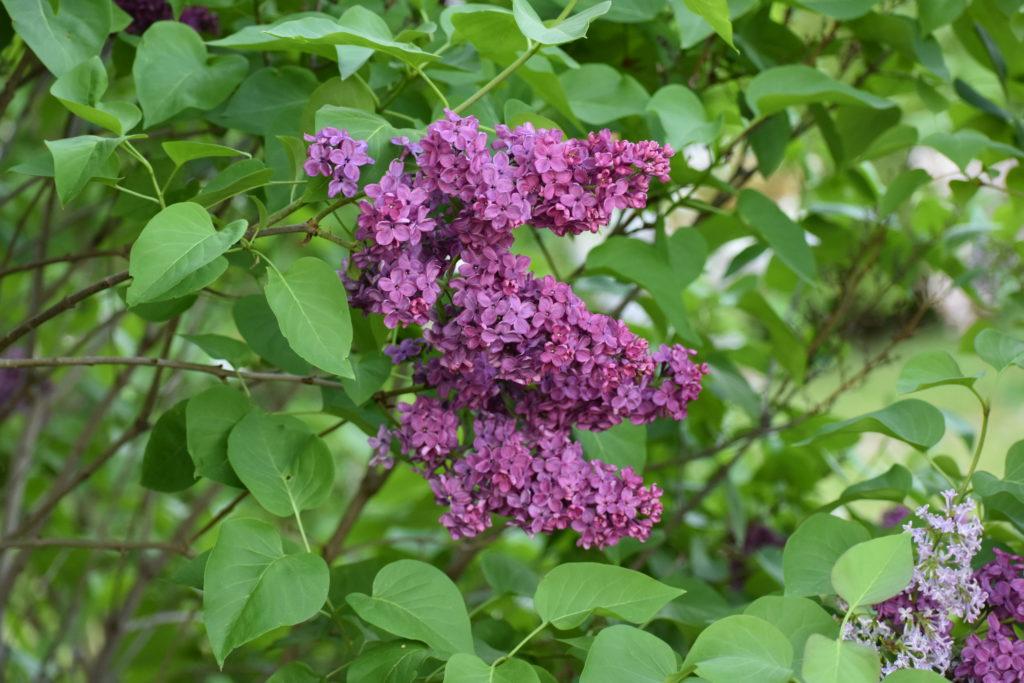 Lilac s on Michigan's Mackinac Island